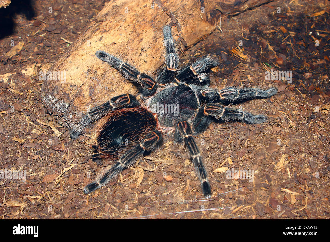 Brazilian salmon pink bird-eating tarantula (Lasiodora parahybana) originating from northeastern Brazil, South America - Stock Image