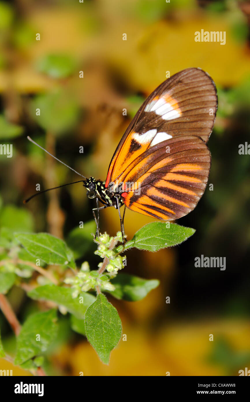 Hecales longwing butterfly (Heliconius hecale), widespread across South America - Stock Image