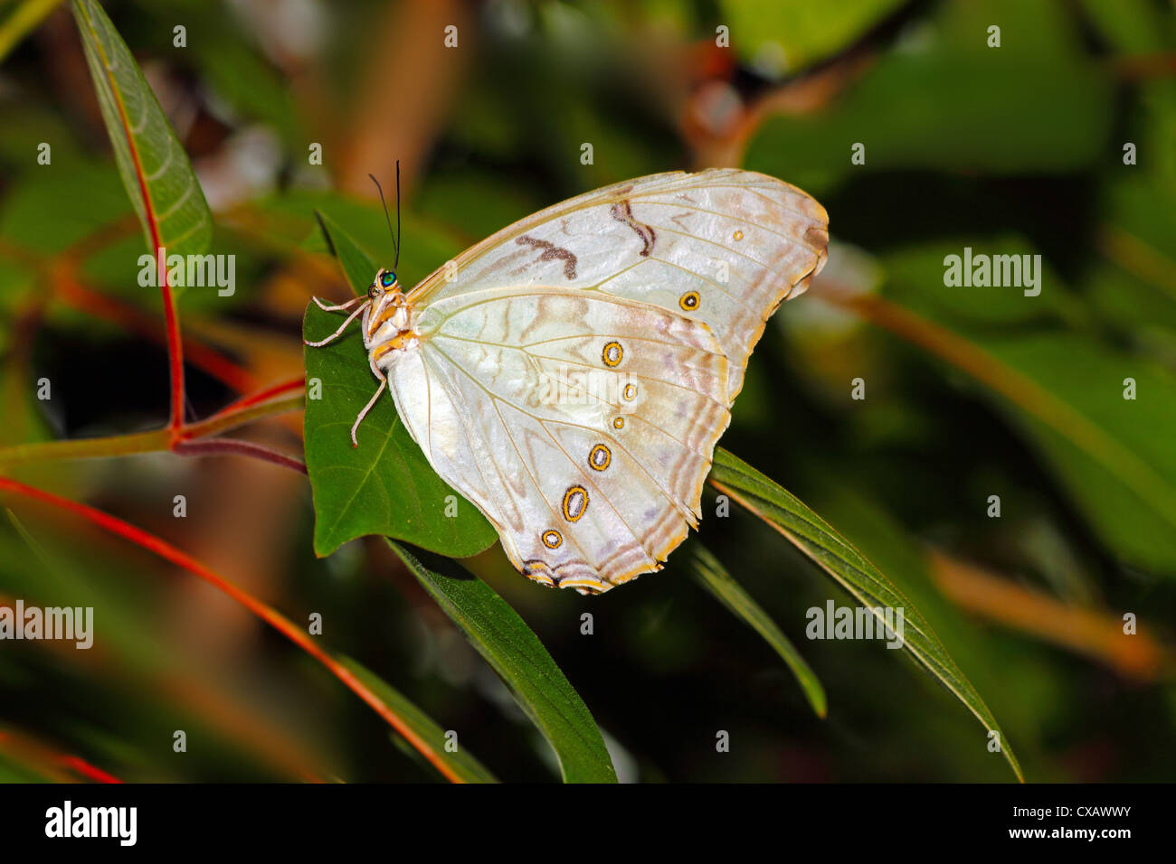 White Morpho (Morpho polyphemus), a white butterfly of Mexico and Central America, ranging as far south as Costa - Stock Image