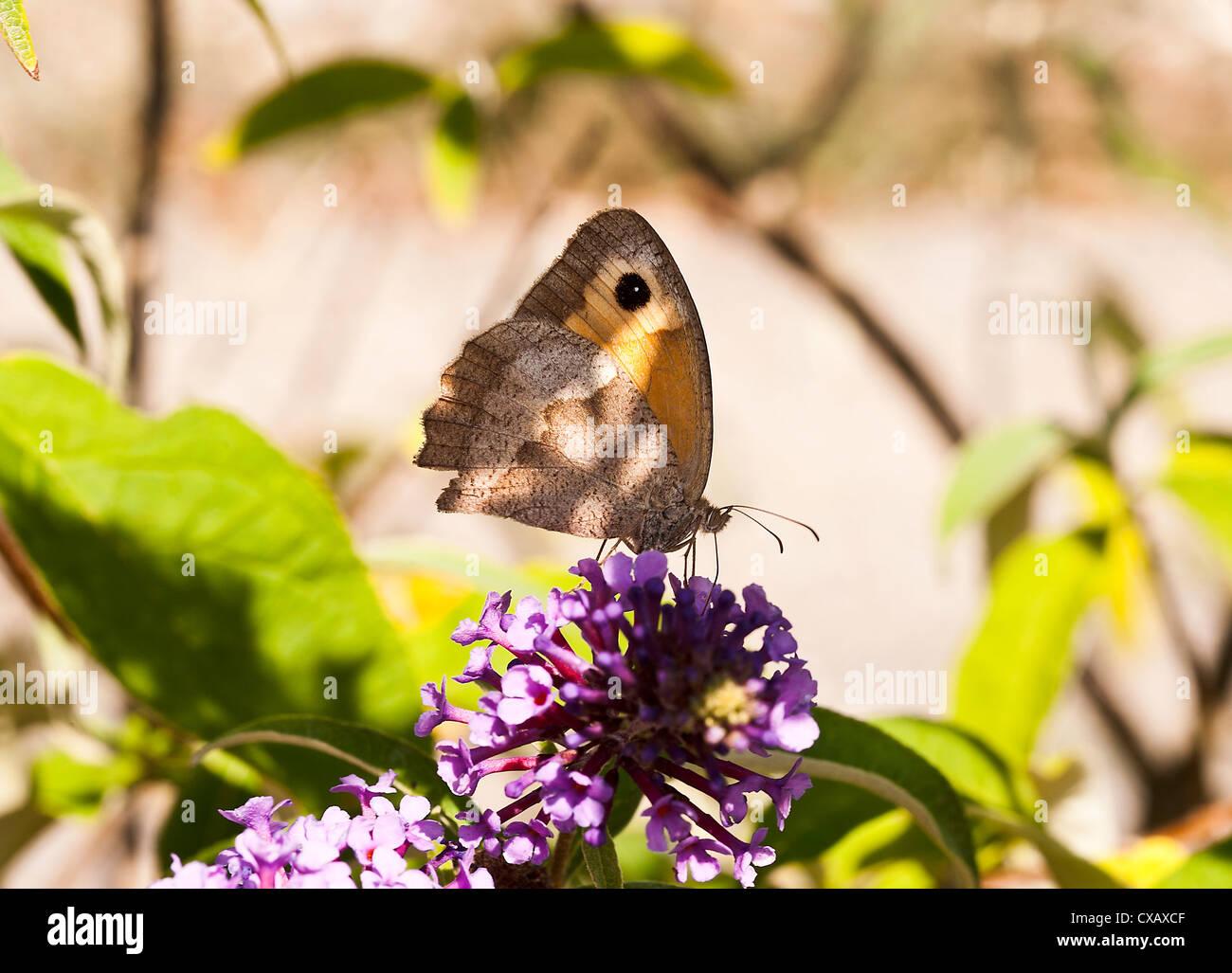 Dusky Meadow Brown Butterfly Feeding on Nectar on a Purple Buddleja Flower at Laval Aveyron Midi-Pyrenees France - Stock Image