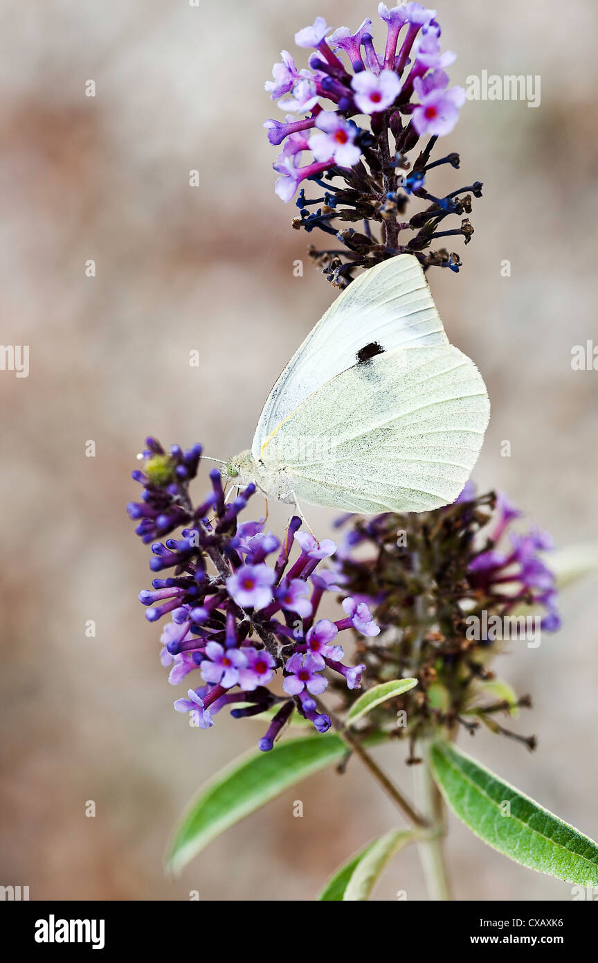 Green Veined White Butterfly Feeding on Nectar on a Purple Buddleja Flower at Laval Pradinas Aveyron Midi-Pyrenees - Stock Image