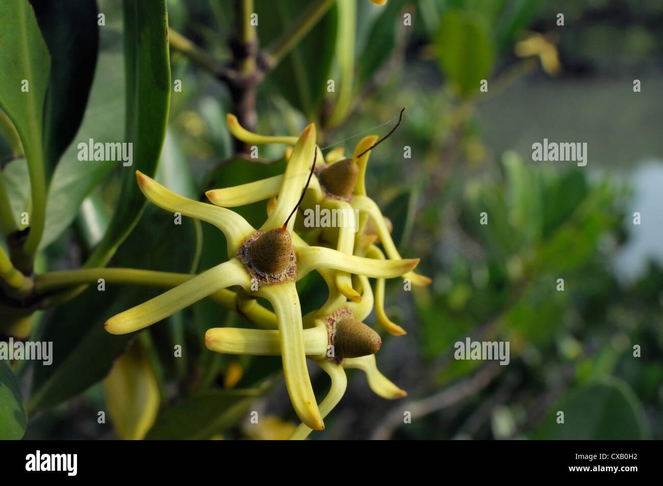 Young fruits of Mangrove tree (Kandelia candel) overhanging tidal creek, Guandu Nature Park, Taiwan, Asia - Stock Image