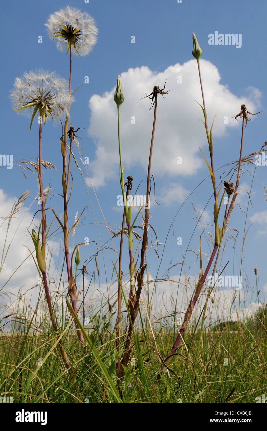 Showy goatsbeard (Jack go to bed at noon) (Meadow salsify) (Tragopogon pratensis) seedhead clocks and closed flowers, - Stock Image