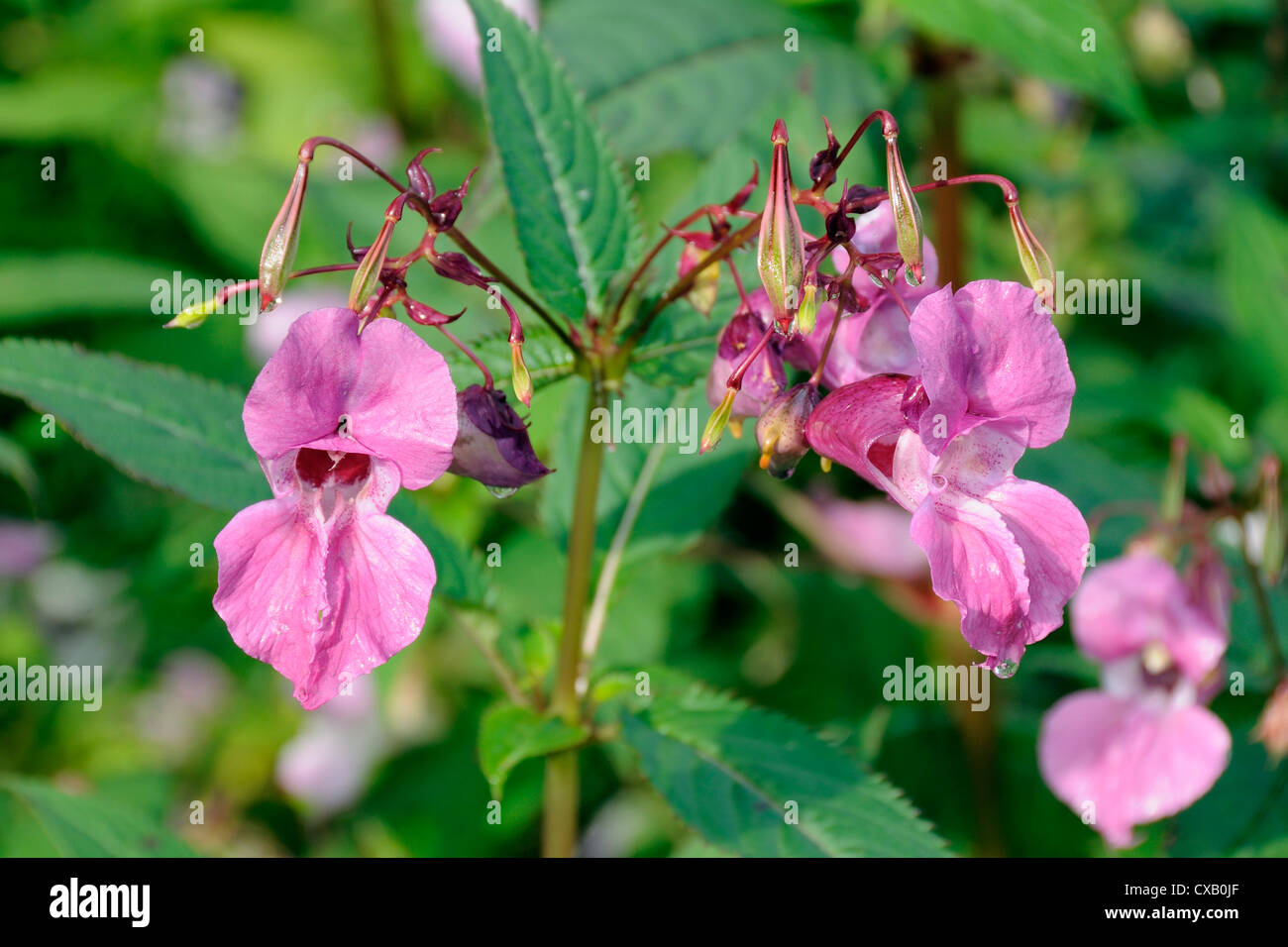 Himalayan balsam (Impatiens glandulifera) flowers and seed pods, Wiltshire, England, United Kingdom, Europe - Stock Image