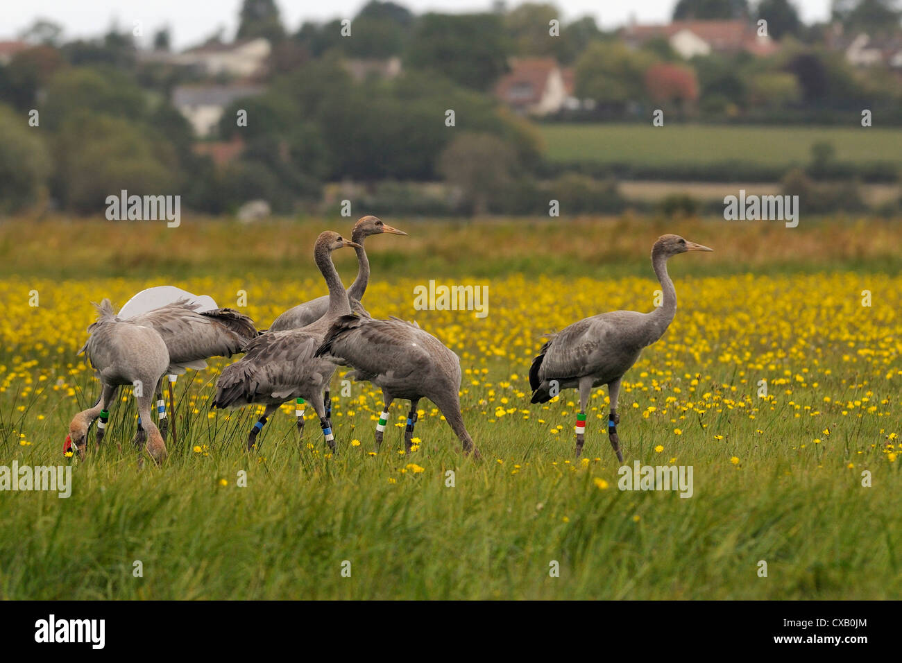 Juvenile Common cranes (Eurasian cranes) (Grus grus) released by the Great Crane Project on the Somerset Levels, - Stock Image