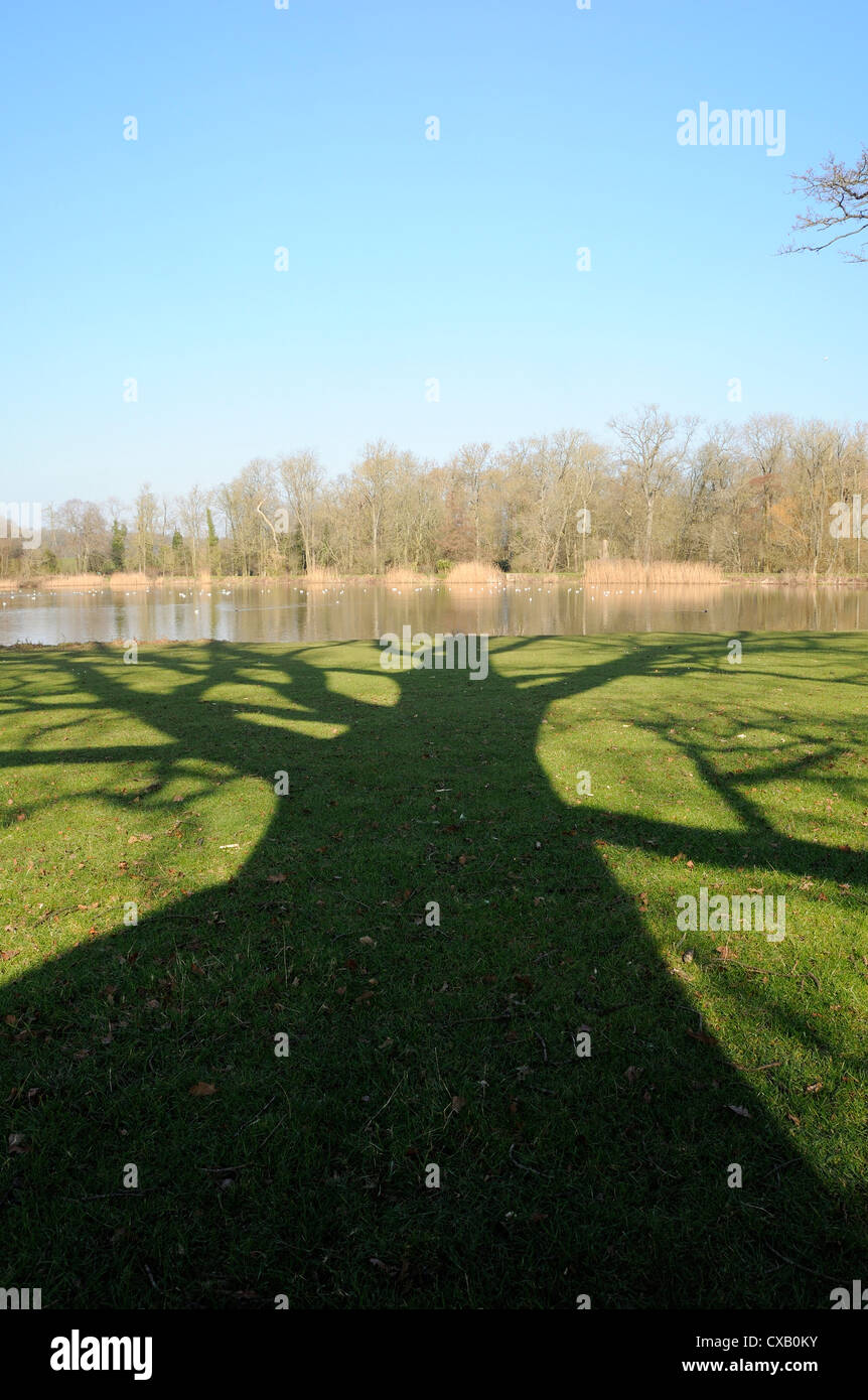 Shadow cast by large English Oak tree (Quercus robur) on grassy margins of ornamental lake, Corsham, Wiltshire, - Stock Image