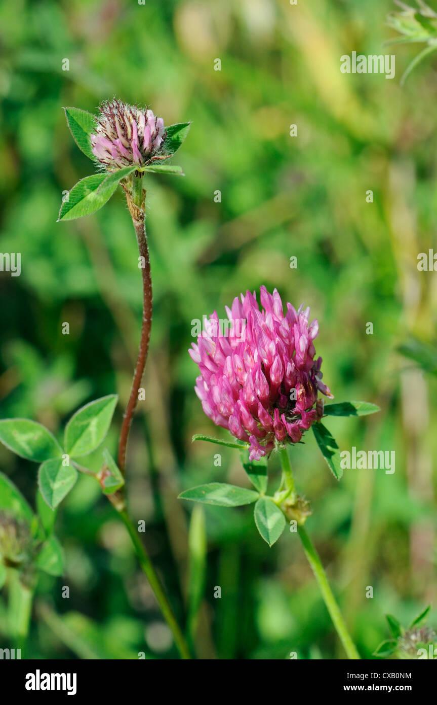 Red clover flowerheads (Trifolium pratense), chalk grassland meadow, Wiltshire, England, United Kingdom, Europe Stock Photo
