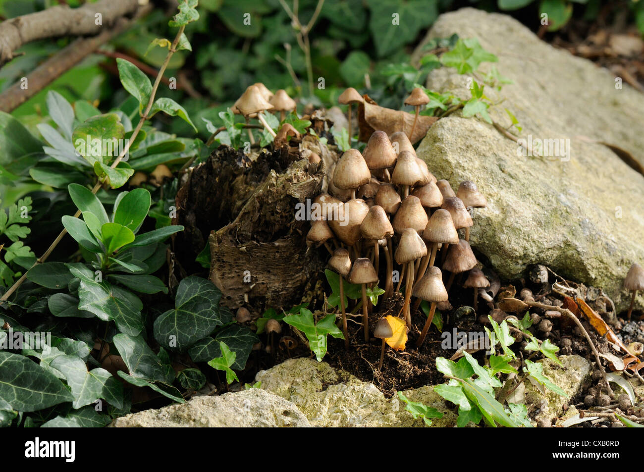 Granny's bonnets (gregarious elf caps ) (clustered bonnet) fungi (Mycena inclinata) growing from rotten treestump, - Stock Image