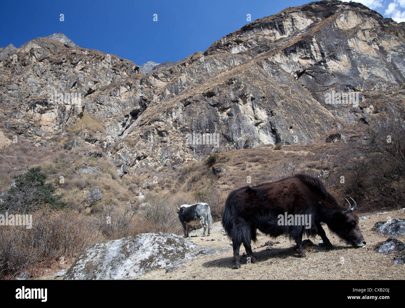 Yaks, Bos grunniens, grazing next to a rocky cliff, Langtang Valley, Nepal - Stock Image