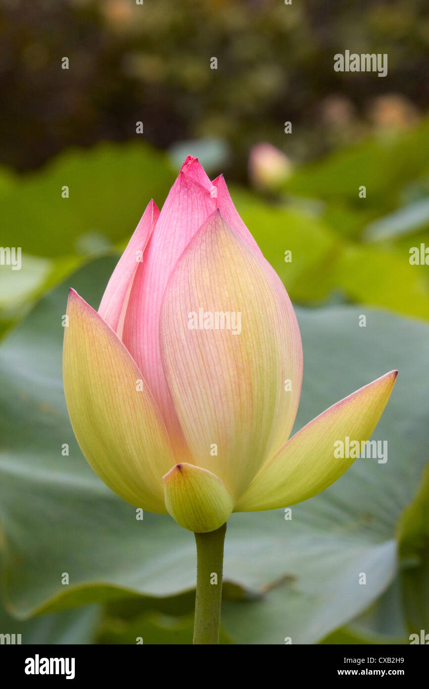 Pink Lotus Flower In Bud Amanzimtoti Kwazulu Natal South Africa
