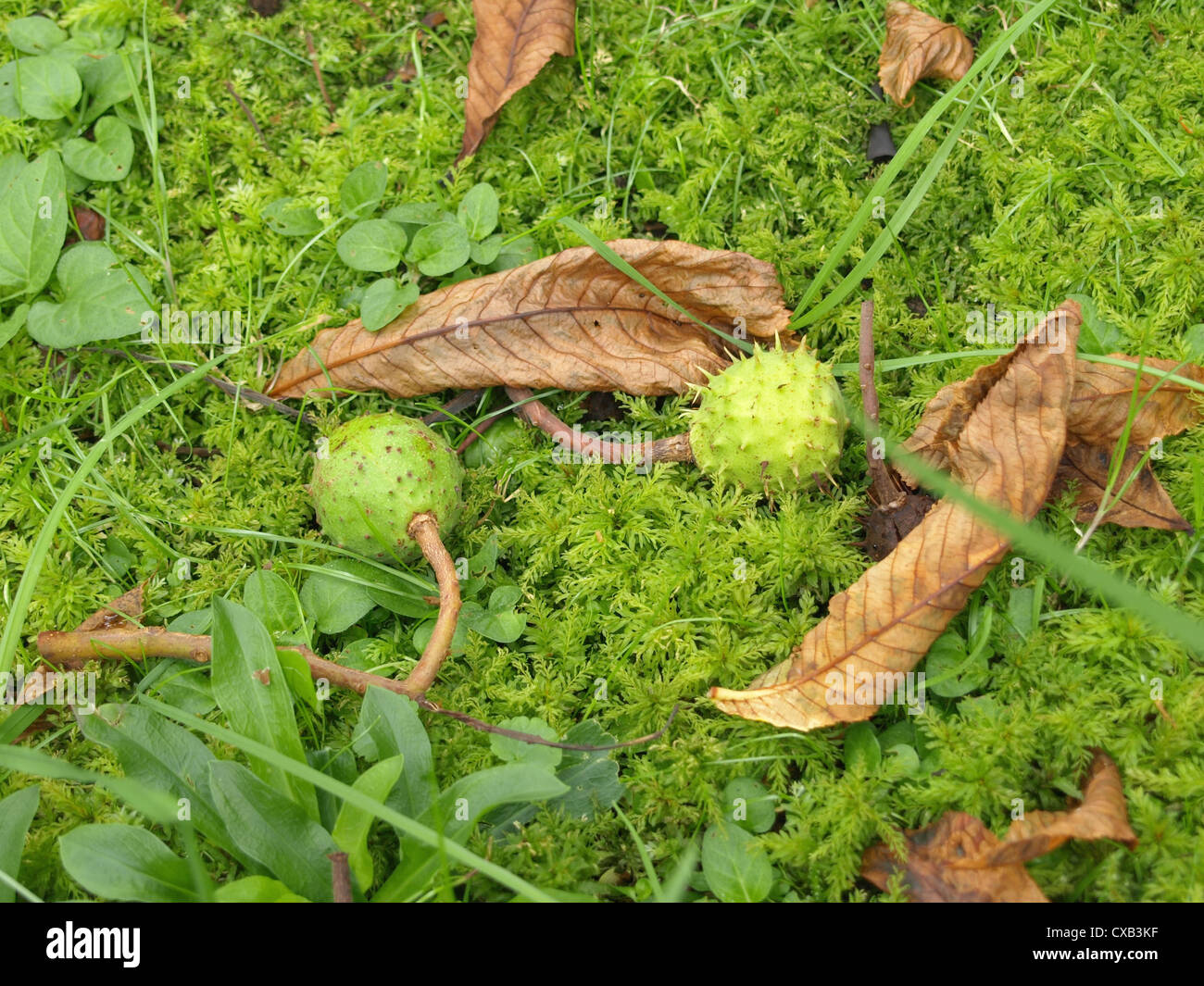 green, spiky capsules with conkers from horse-chestnut / grüne, stachelige Kapseln mit Samen der Rosskastanie Stock Photo