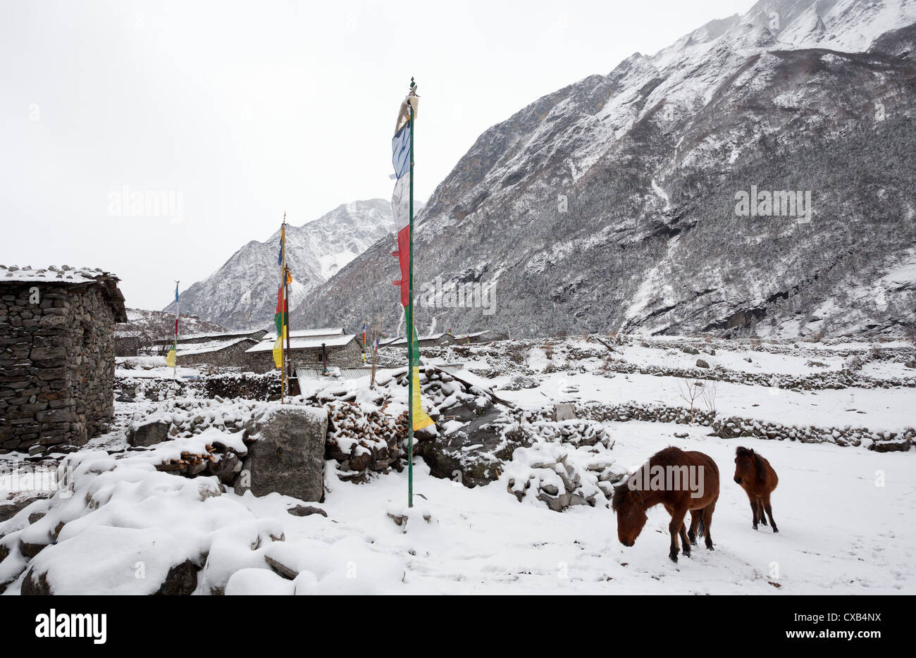 Mules standing next to Buddhist prayer flags in the snow, Langtang village, Nepal - Stock Image