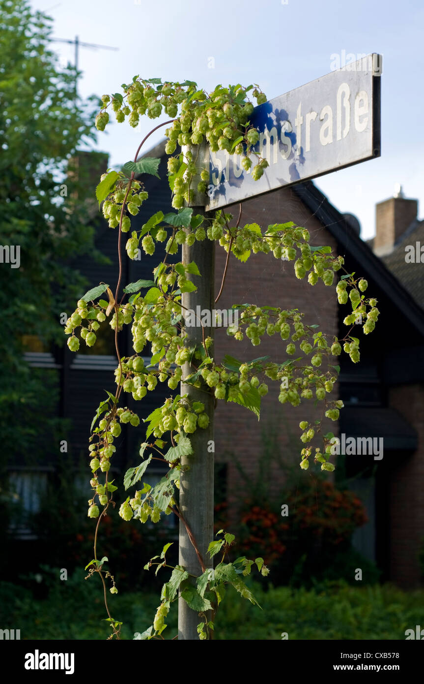 Wild Hops (Humulus lupulus) growing on a street sign in residential area of Germany. - Stock Image