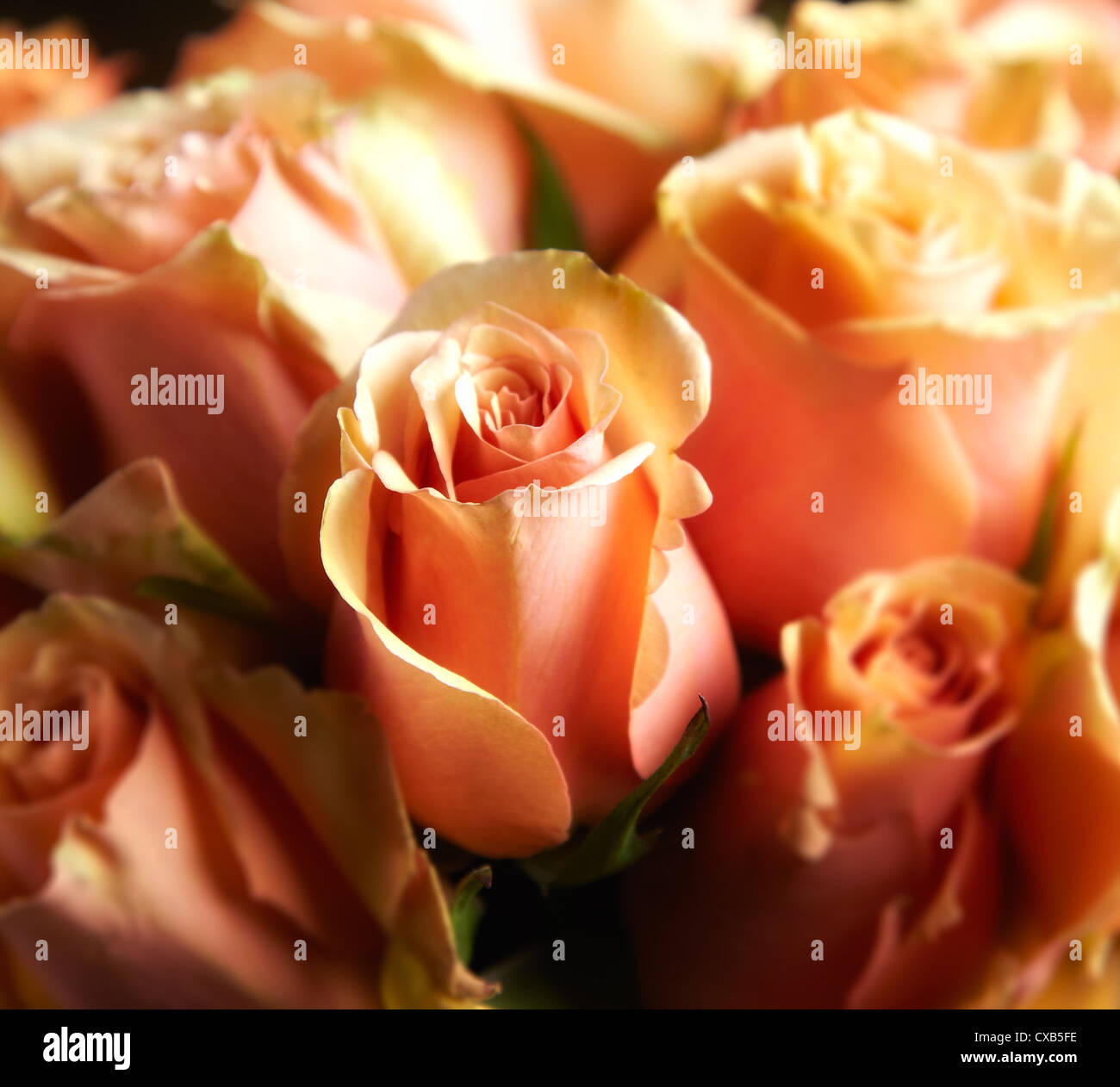 A Close Up of Peach, Tangelic Roses - Stock Image