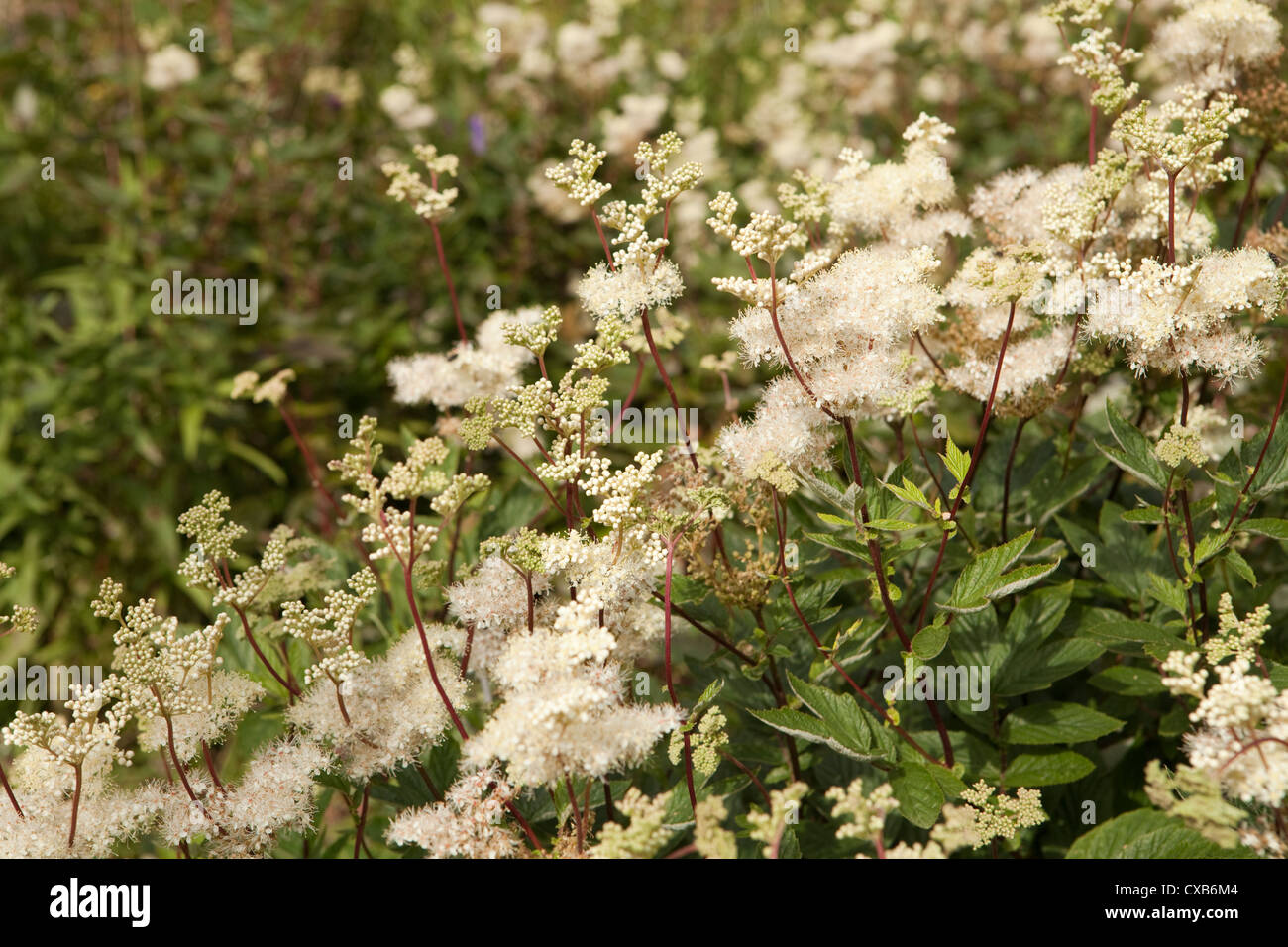 Meadowsweet Filipendula ulmaria growing in Moor House Upper Teesdale NNR, County Durham, UK - Stock Image