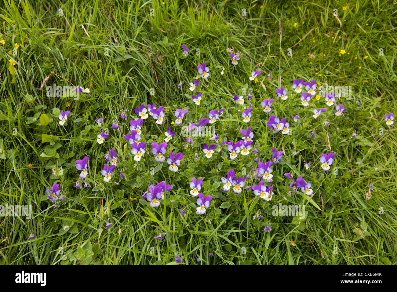 A clump of wild pansy Viola Tricolor growing by the River Tees in Moor House Upper Teesdale, County Durham - Stock Image