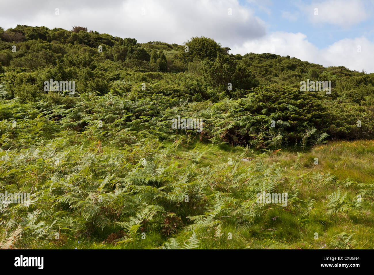 Ferns and juniper woodland in Moor House Upper Teesdale NNR where the Phytophthora austrocedri disease is killing - Stock Image