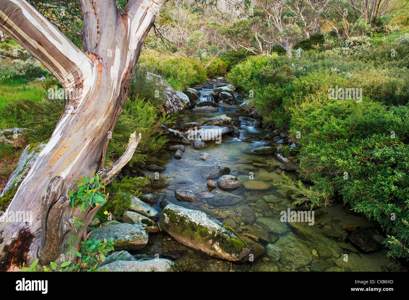 Snow Gum at a small creek in Dead Horse Gap. - Stock Image