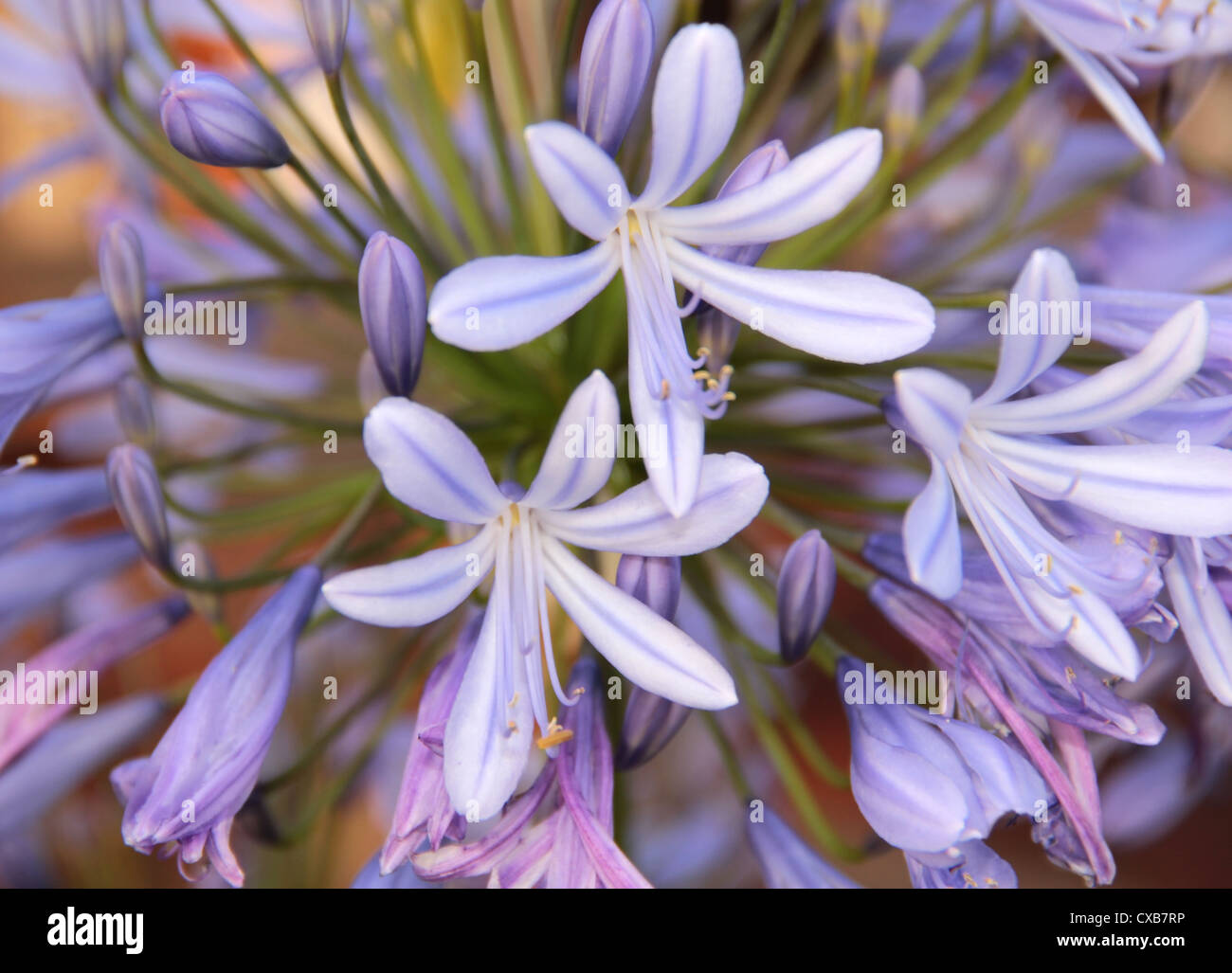 detail of a flower named Lily of the Nile - Stock Image