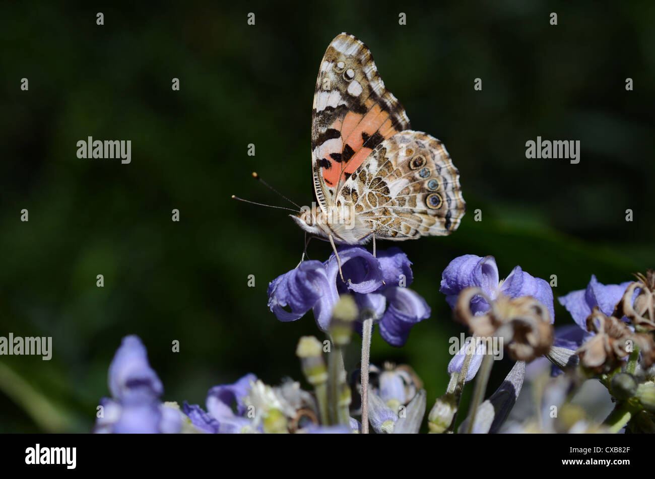 Painted Lady feeding on nectar perching on lilac blue flower - Stock Image