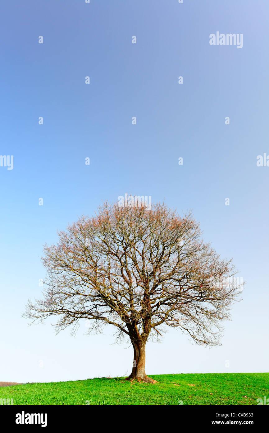 A lonely oak tree by city Pruem, Rheinland-Pfalz / Germany - Stock Image