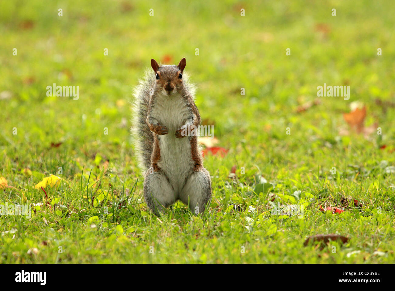 A curious eastern grey squirrel standing up. - Stock Image