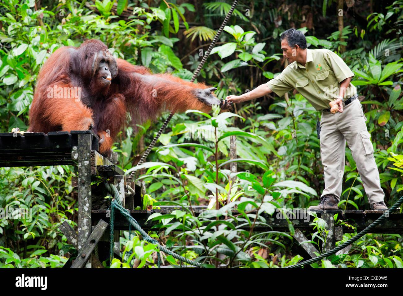 Orang-Utan at Semenggoh Wildlife Centre, Sarawak, Borneo Malaysia - Stock Image
