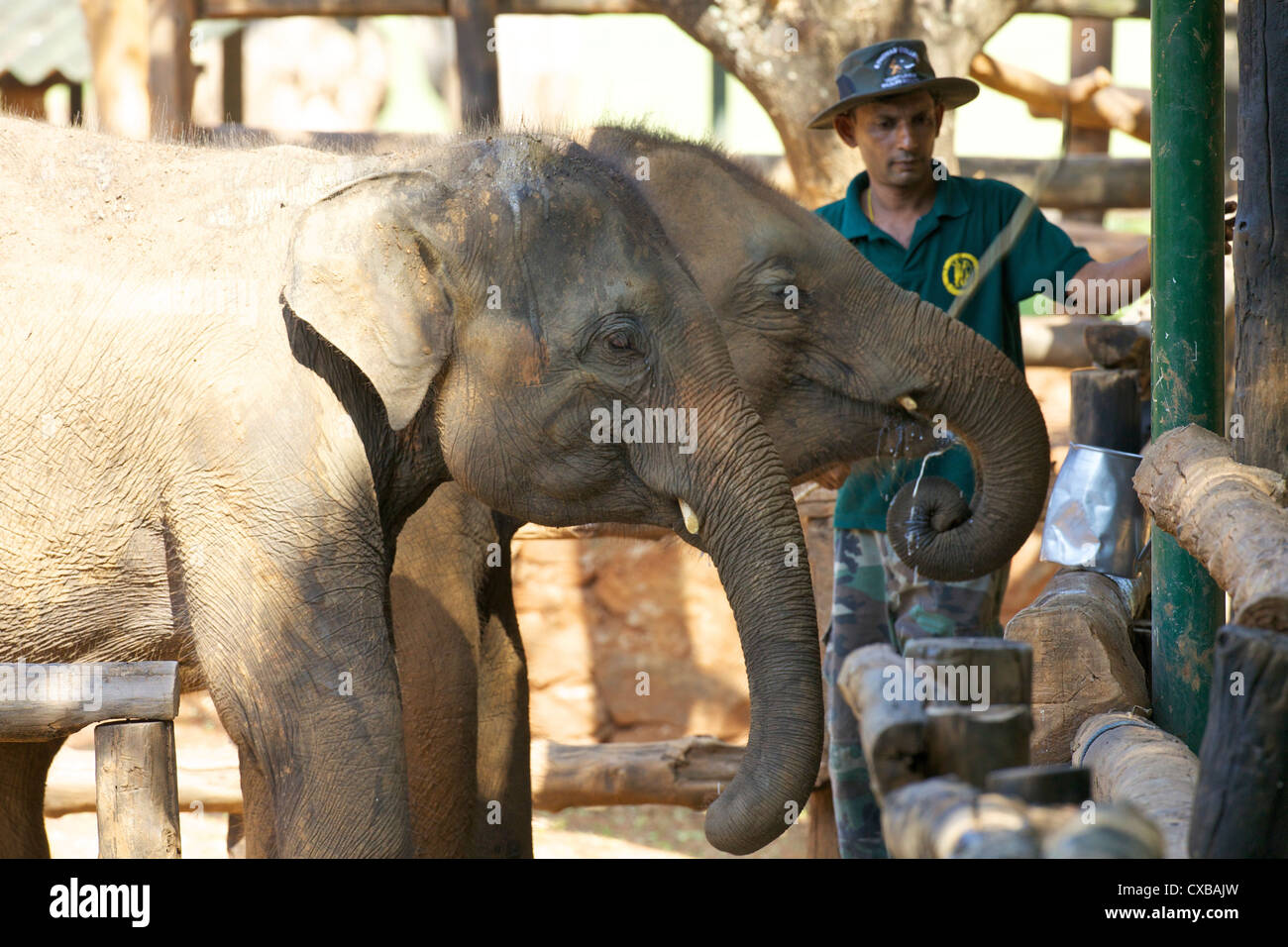 Baby Asian elephants being fed, Uda Walawe Elephant Transit Home, Sri Lanka, Asia - Stock Image
