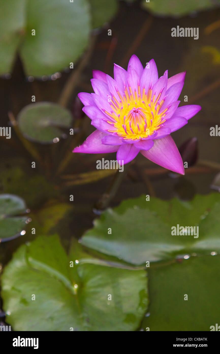 Lotus Flowers Sri Lanka Stock Photos Lotus Flowers Sri Lanka Stock