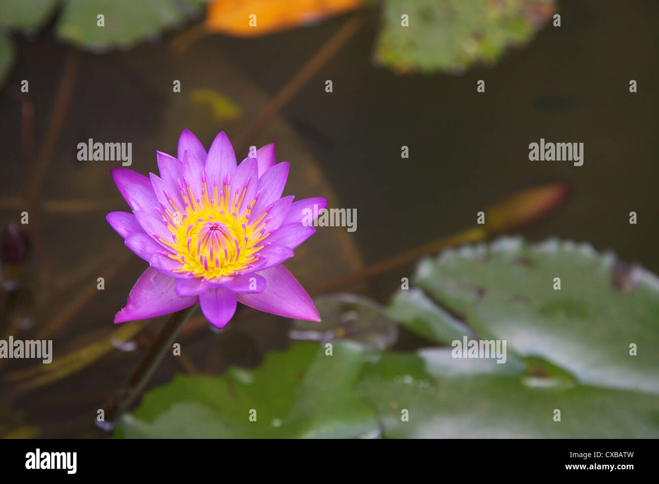 Blue Star Water Lily Blue Lotus Flower Nymphaea Stellata Stock