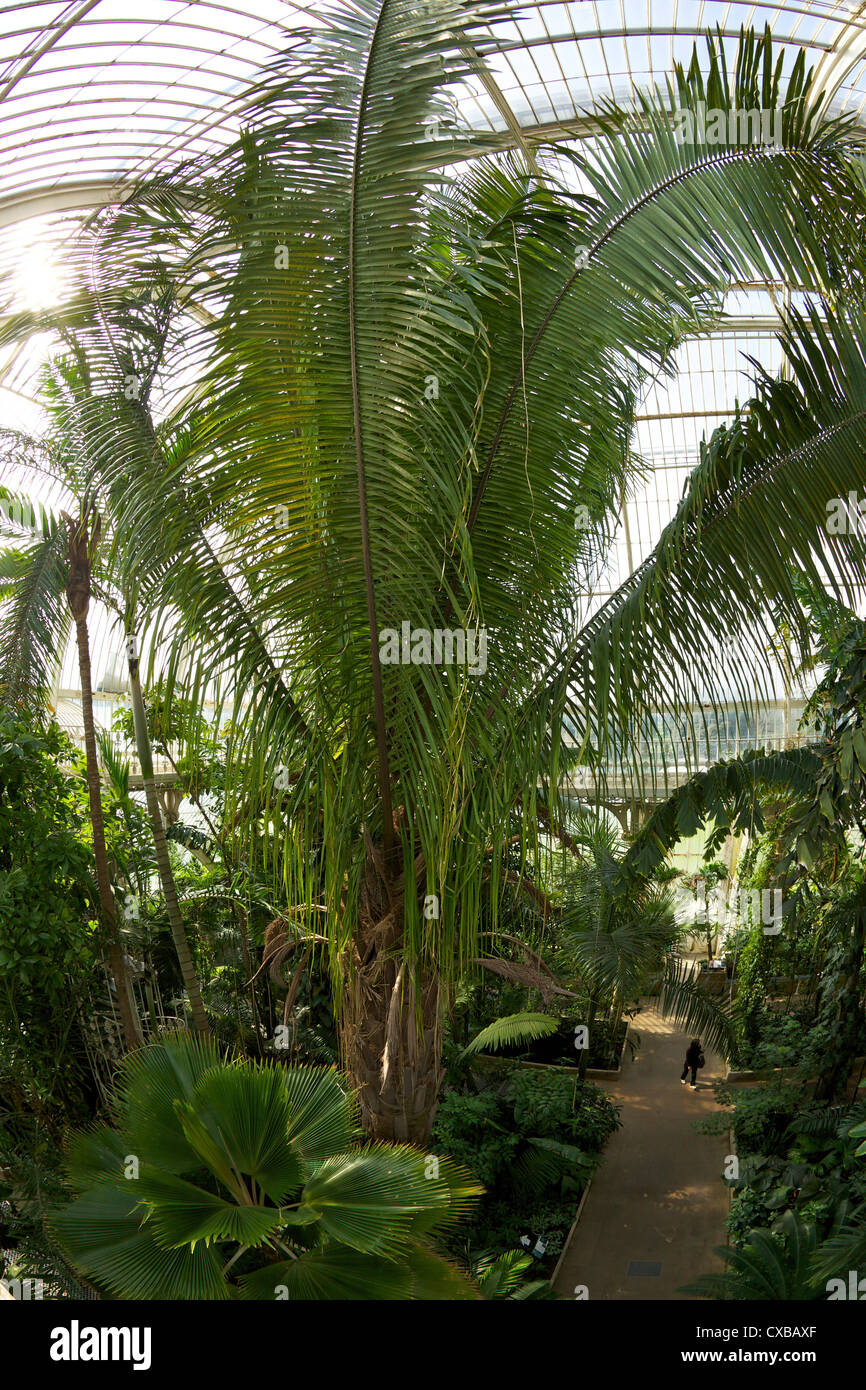 Palm House interior, Royal Botanic Gardens, Kew, UNESCO World Heritage Site, London, England, United Kingdom, Europe - Stock Image