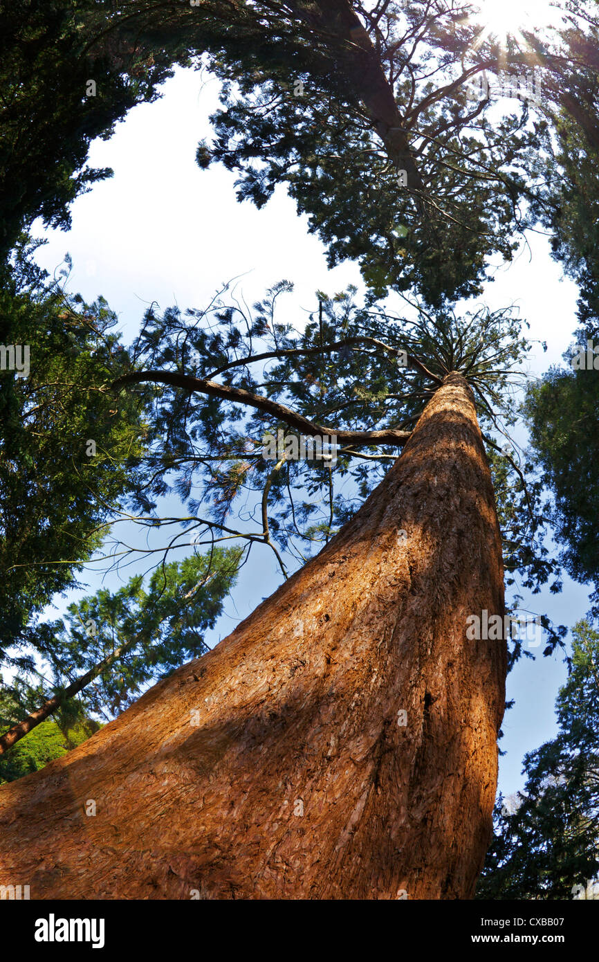 Giant Redwood (Sequoiadendron giganteum), Royal Botanic Gardens, Kew, London, England, United Kingdom, Europe - Stock Image