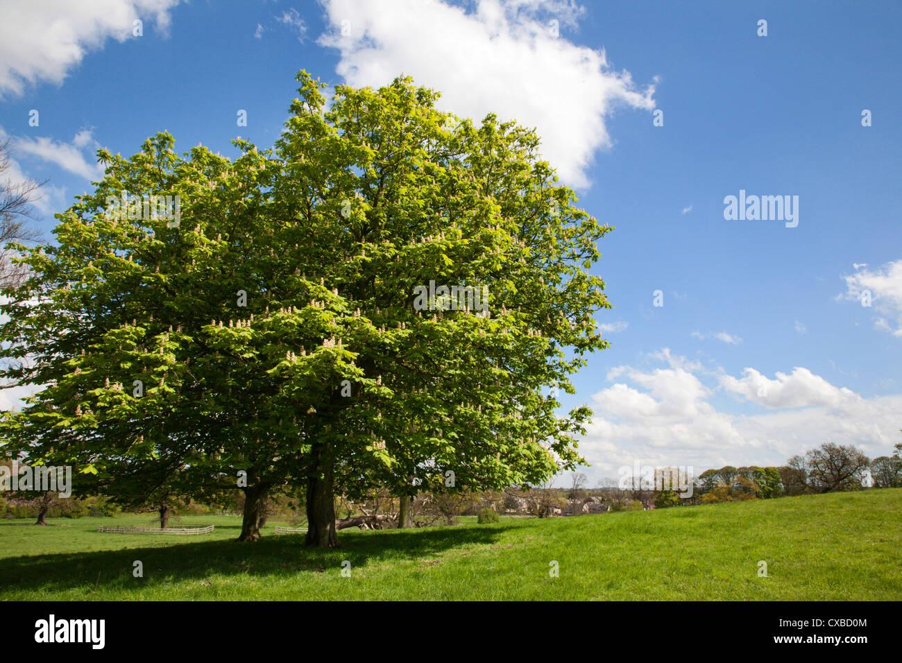Spring trees in Jacob Smith Park, Knaresborough, North Yorkshire, England, United Kingdom, Europe - Stock Image