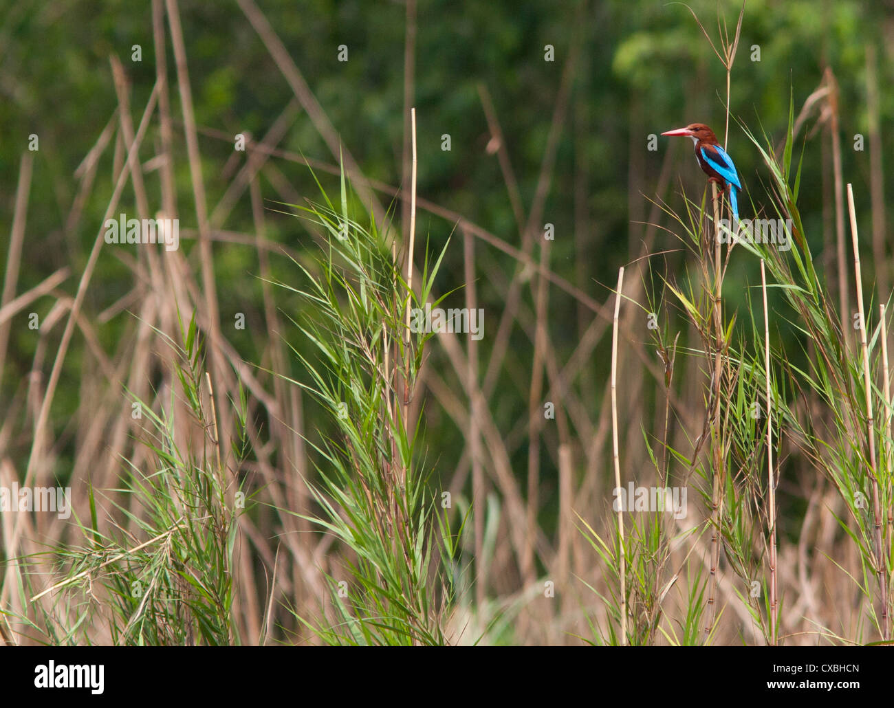 White-throated Kingfisher, Halcyon smyrnensis, Nepal - Stock Image