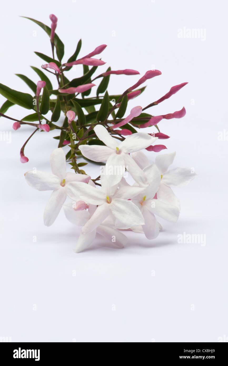 Pink jasmine on white background stock photo 50657105 alamy pink jasmine on white background izmirmasajfo