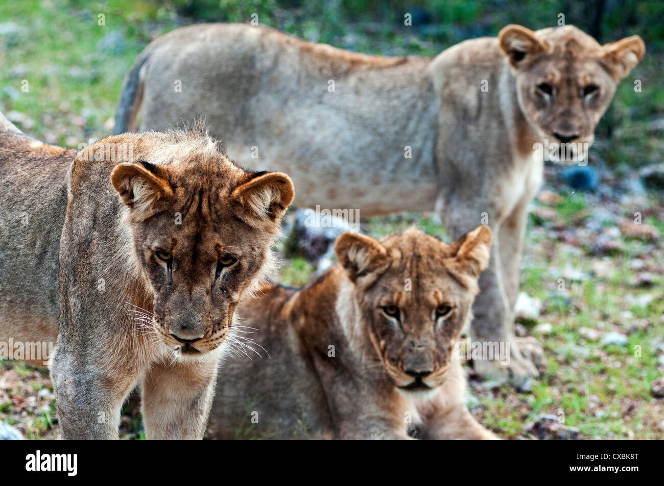 Young lions (Panthera leo), Namibia, Africa - Stock Image