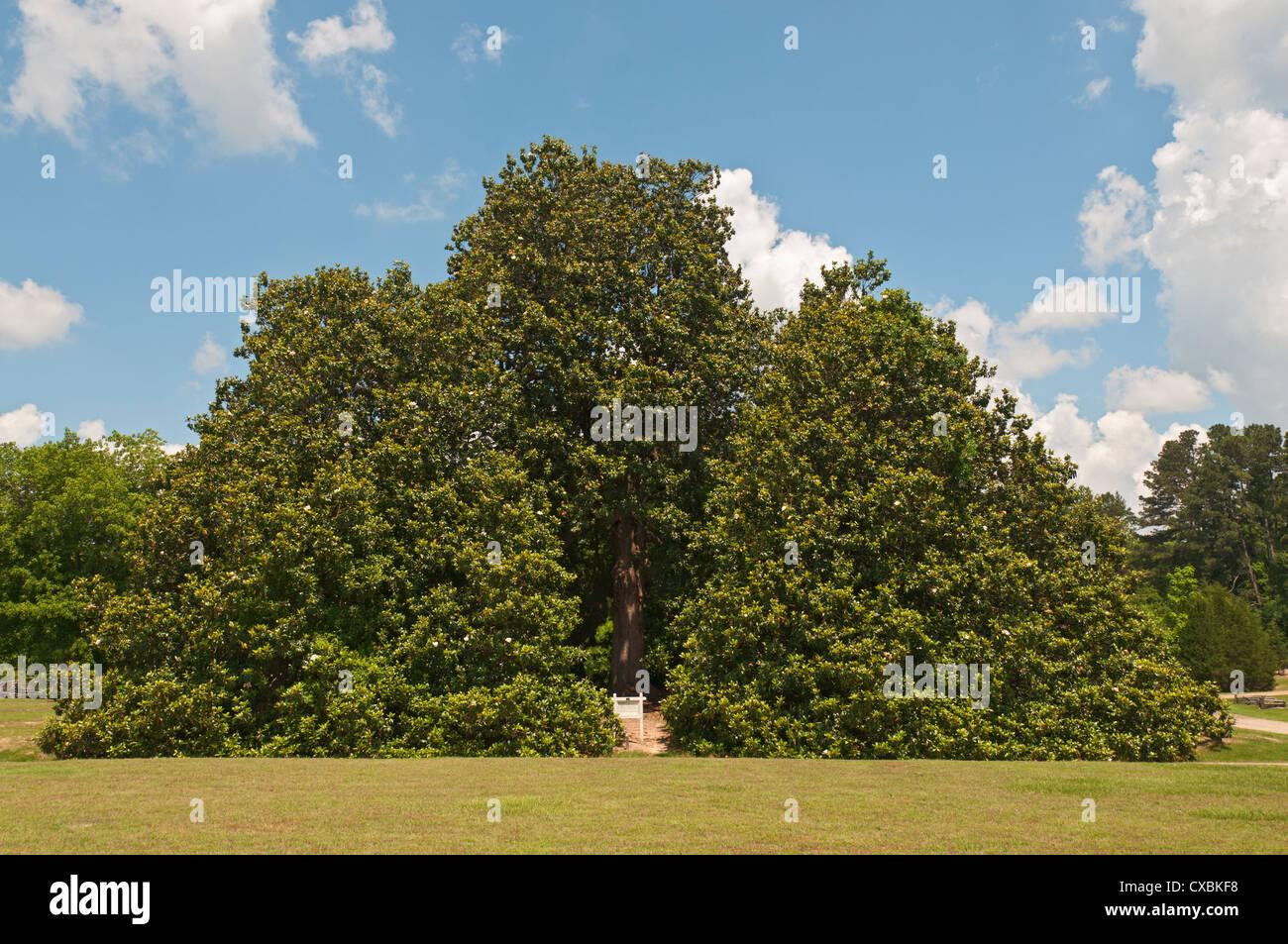 Arkansas Washington Historic Washington State Park Magnolia Tree