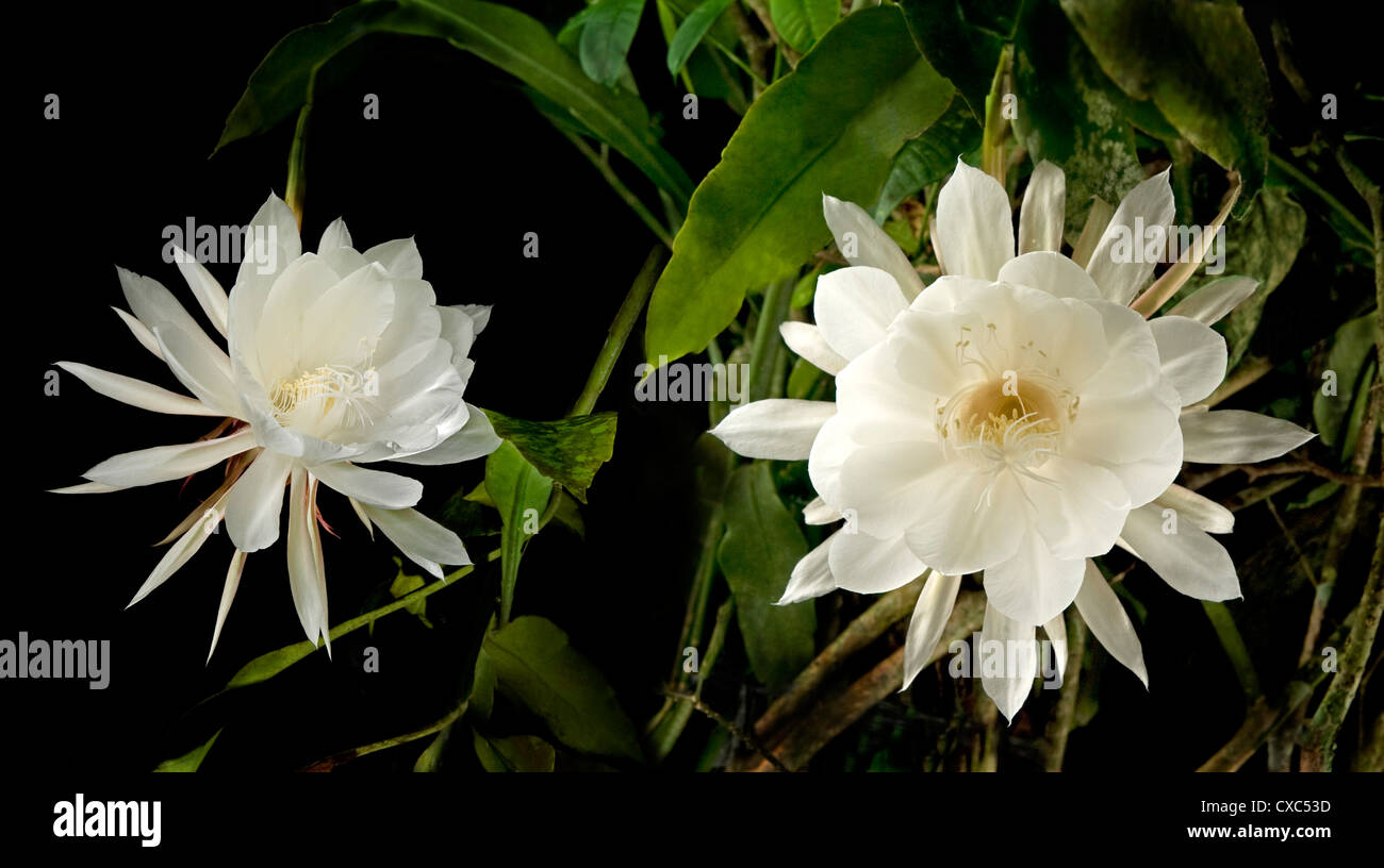 Queen of the night (Epiphyllum Oxypetalum), blooms only once at midnight for a few hours, then the flower drops, - Stock Image
