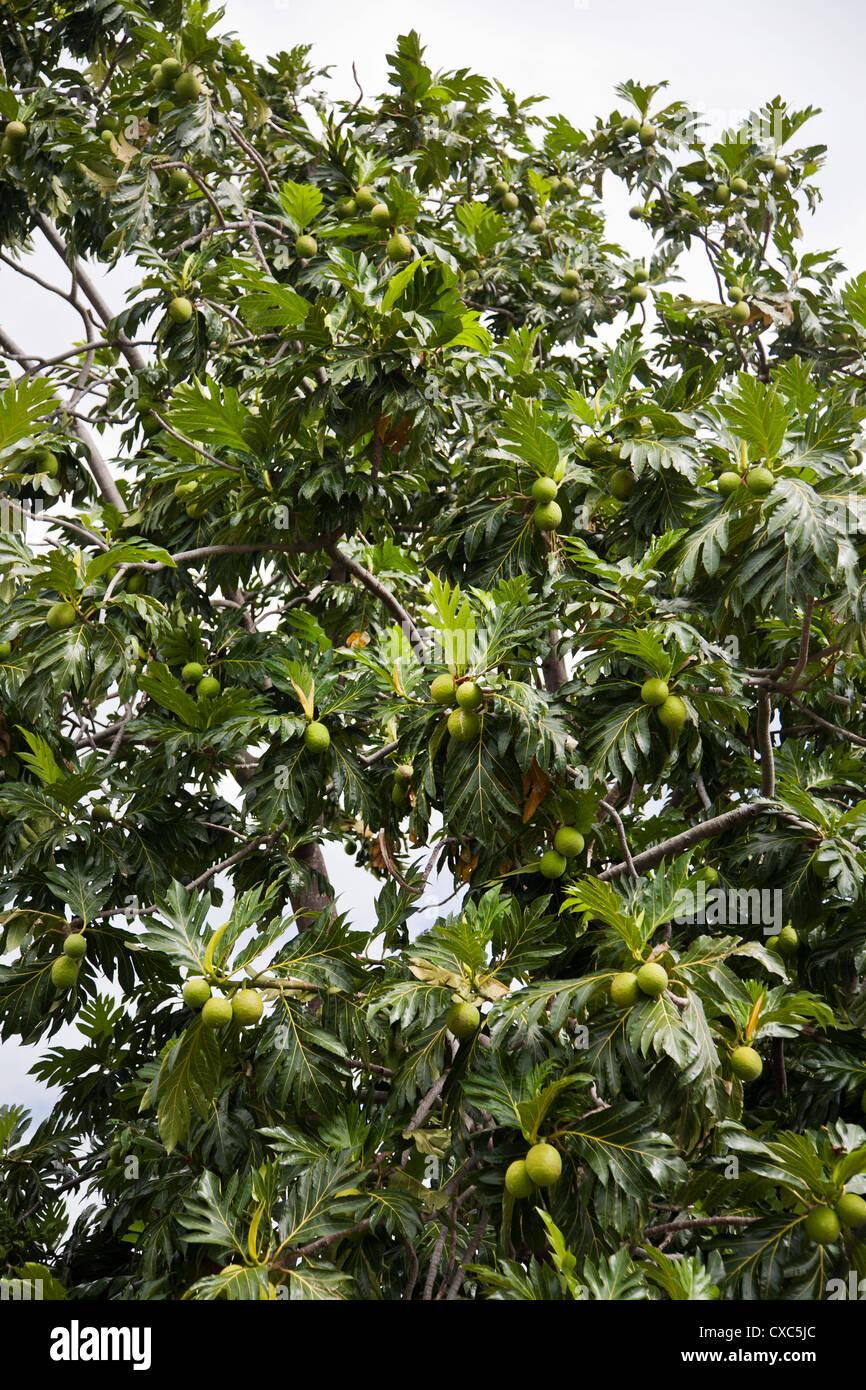 Breadfruit (Artocarpus altilis) tree, Kingstown, St. Vincent, St. Vincent and the Grenadines, Lesser Antilles, West - Stock Image