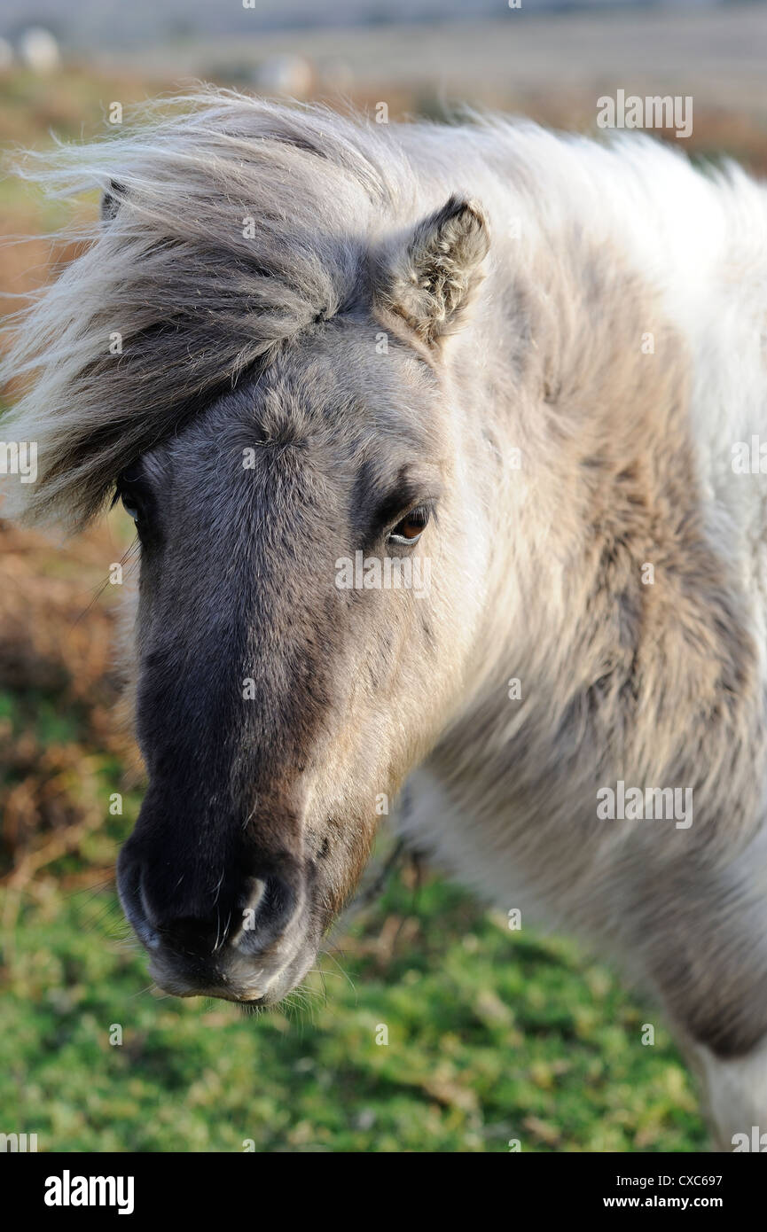 Pony on windy day, Dartmoor, Devon, England, United Kingdom, Europe - Stock Image