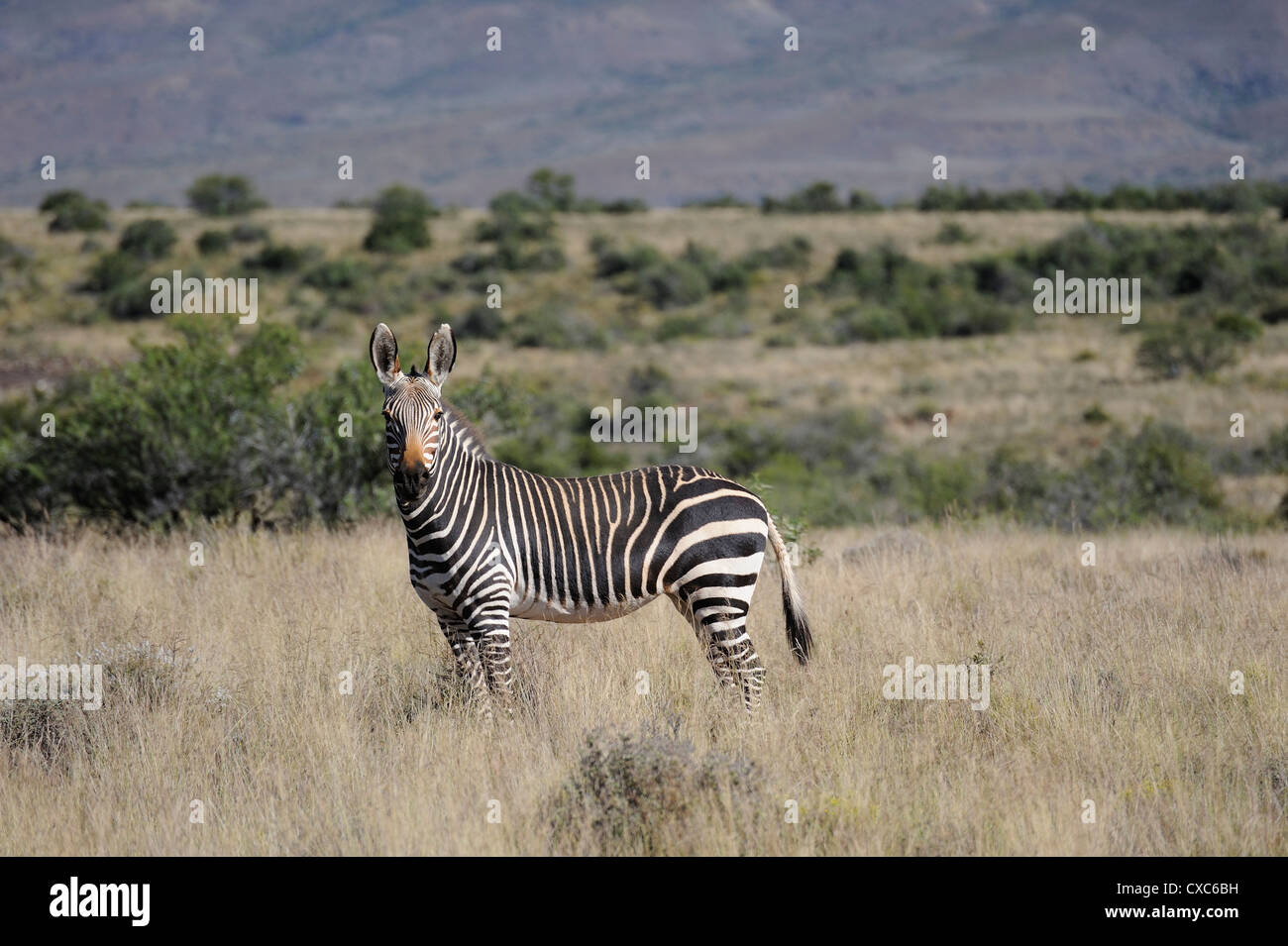 Rare mountain zebra in the early morning in the Karoo National Park, South Africa, Africa - Stock Image