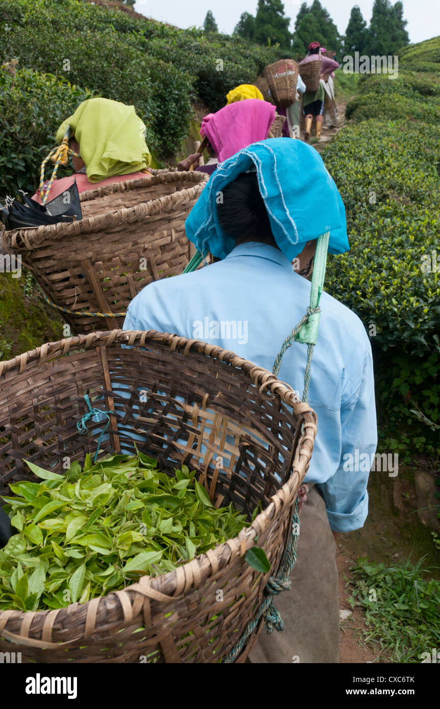 Workers carrying baskets of tea leaves, Fikkal, Nepal, Asia - Stock Image