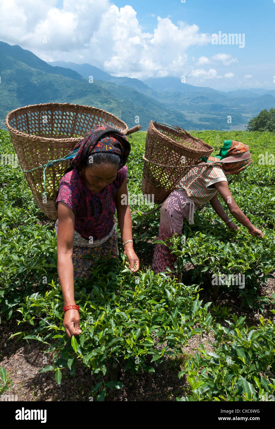 Tea plucking in the Annapurna area, Lwang. Pokhara, Nepal, Asia - Stock Image