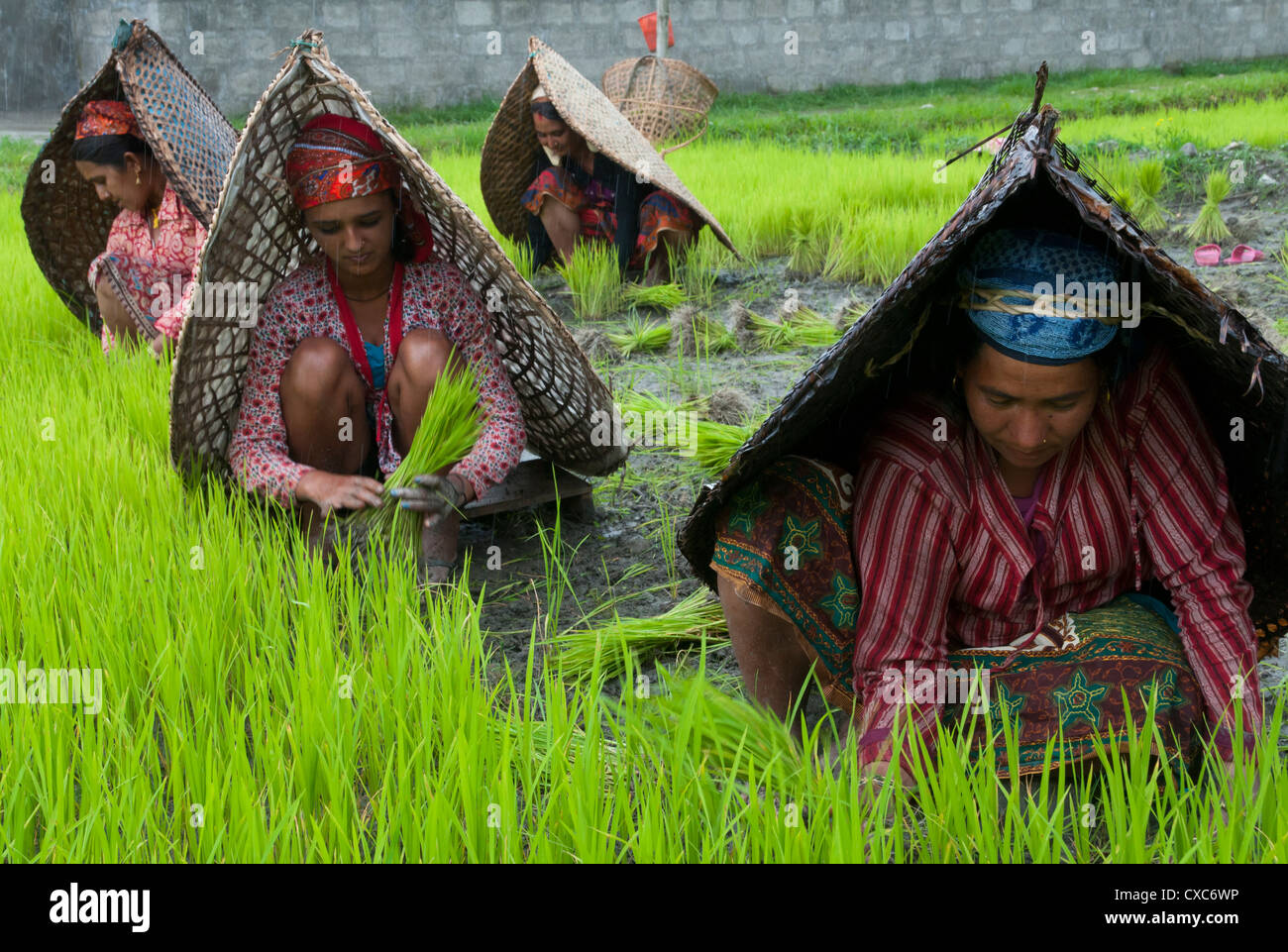 Female farmers at work in rice nursery, with rain protection, Annapurna area, Pokhara, Nepal, Asia - Stock Image