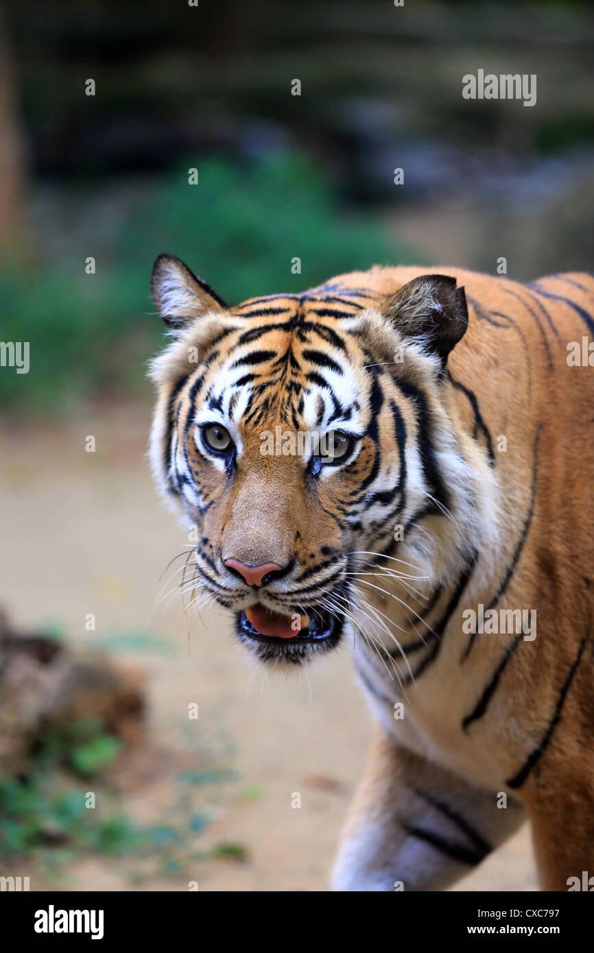 Malaysian tiger (Panthera tigris malayensis) at Melaka Zoo in Malaysia Stock Photo