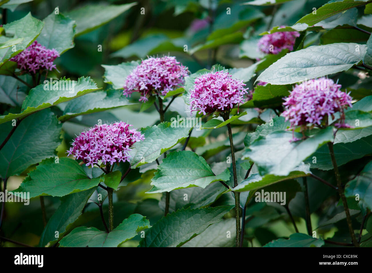 CLERODENDRUM BUNGEI FLOWERS Stock Photo: 50671759 - Alamy