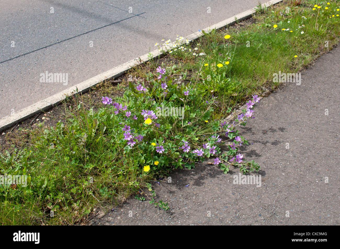 Narrow grass verge with wildflowers on - Stock Image