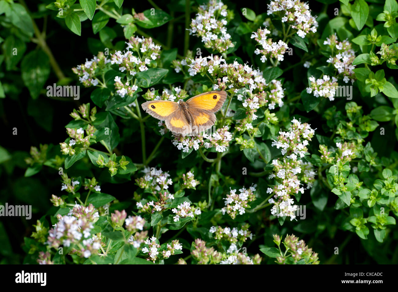 Hedge Brown or Gatekeeper butterfly (Pyronia tithonus) on Marjoram plant - Stock Image