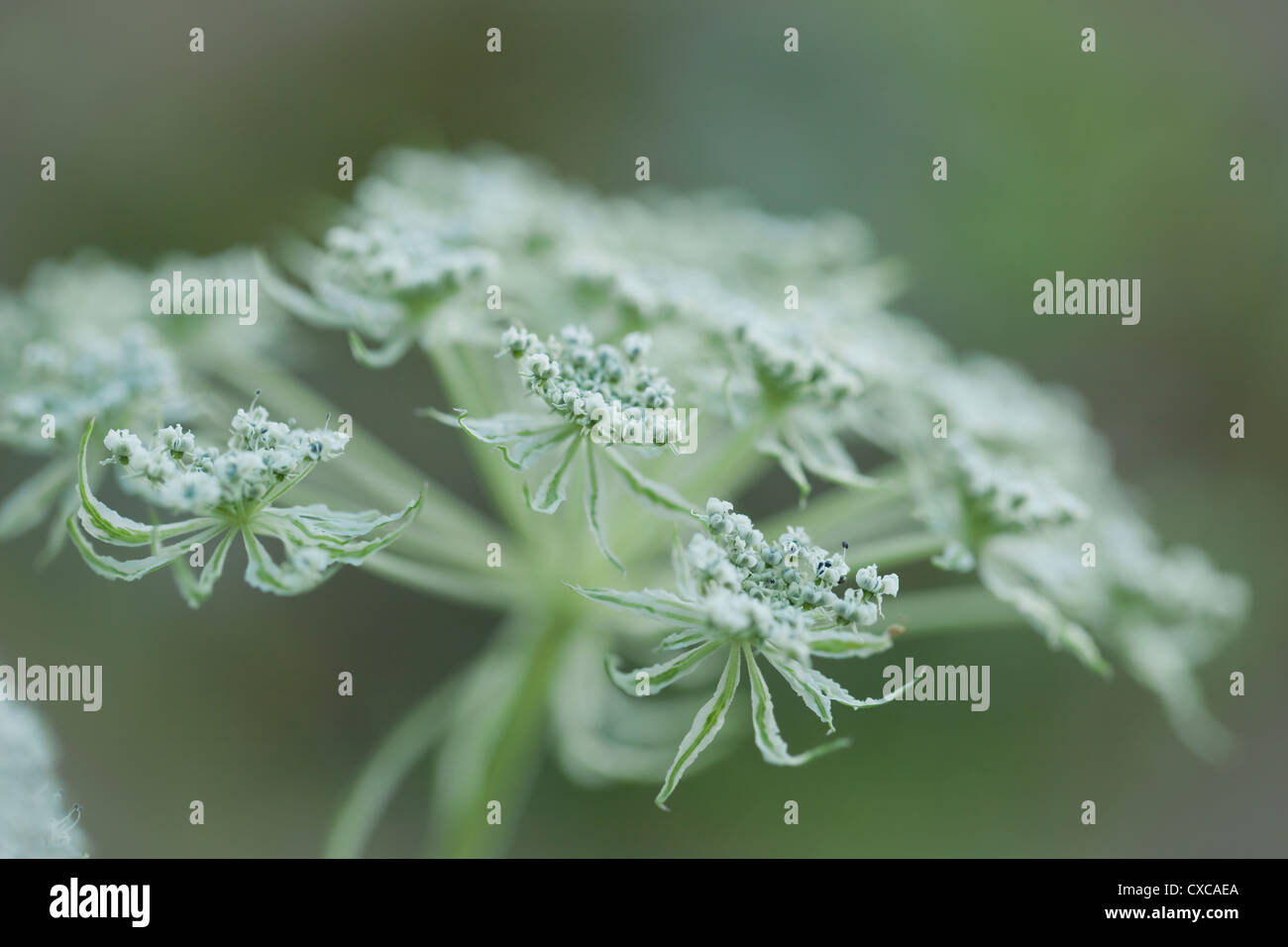 Selinum Wallichianum White Flowers September United Kingdom Stock