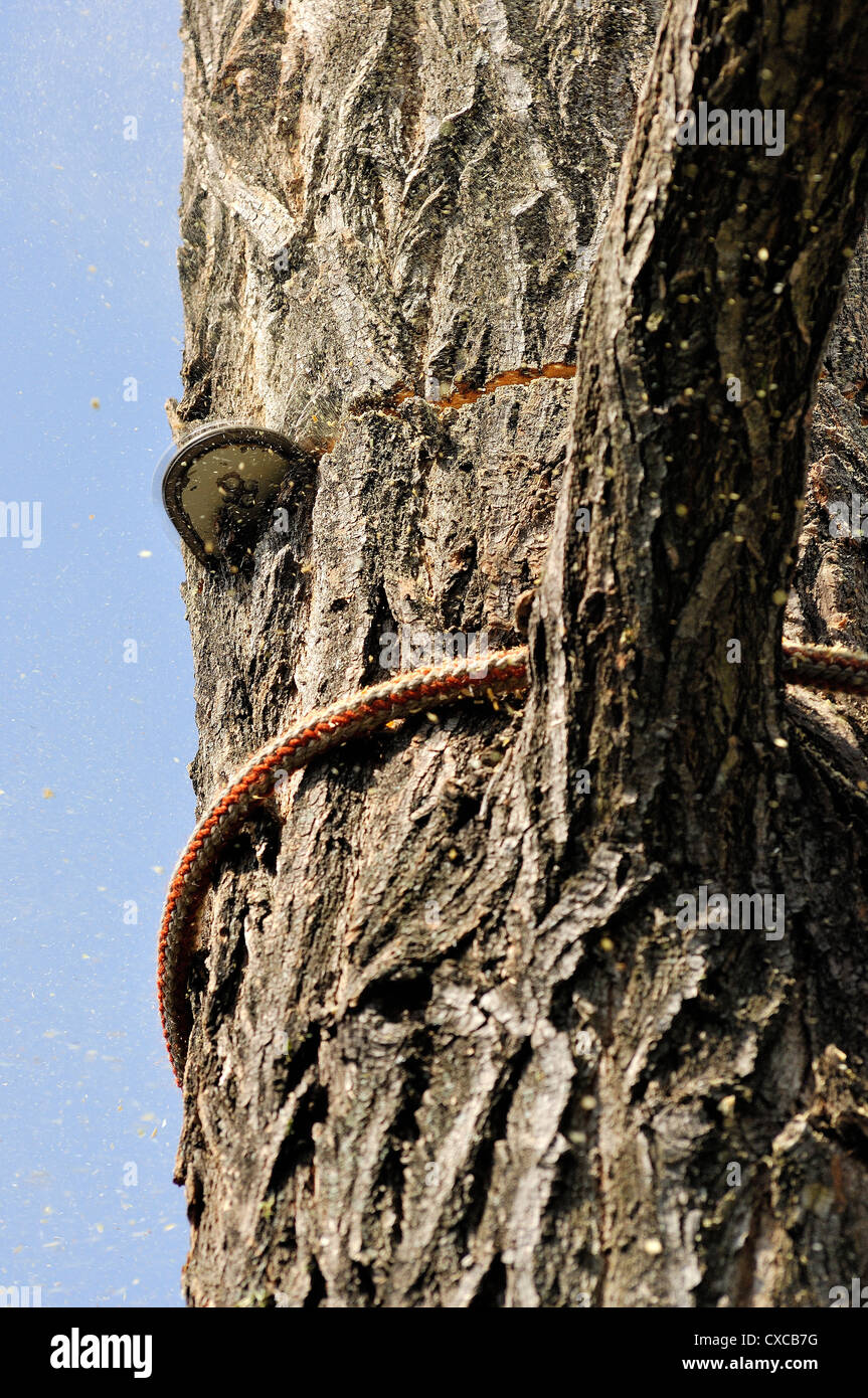 tree with rope-climbing protection harnesses and saw chain Stock Photo